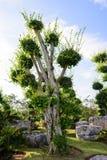The big Ficus benjamina tree Royalty Free Stock Photos