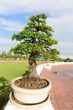 The big Ficus benjamina tree Stock Image