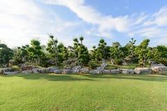 The big Ficus benjamina tree Royalty Free Stock Photo