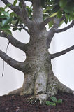 Big ficus tree. Royalty Free Stock Photo