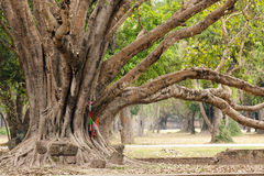 Big ficus tree. Large ficus tree roots and branches in sukhotai park, Thailand royalty free stock photo