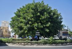 Big ficus tree Royalty Free Stock Image