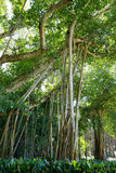 A big ficus tree in the John Ringling Museum, sarasota, FL Royalty Free Stock Photos