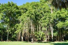 A big ficus tree in the John Ringling Museum, sarasota, FL Stock Images