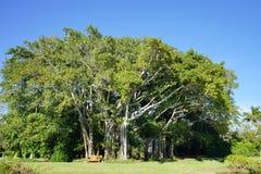 A big ficus tree in the John Ringling Museum, sarasota, FL Royalty Free Stock Photos