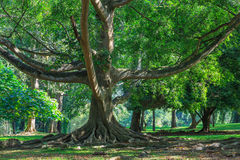 Big ficus tree. In King's Garden. Kandy, Sri Lanka royalty free stock photography