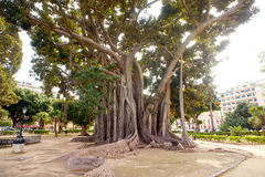 Big ficus tree in Palermo Royalty Free Stock Photos