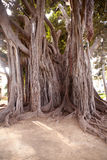 Big ficus tree in Palermo. View of Big ficus tree in Palermo stock photos