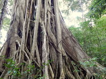 Big ficus tree in rain forest Stock Photo