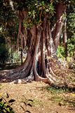 Big Ficus tree Royalty Free Stock Images