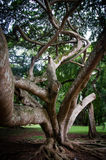 Big ficus tree in Sri Lanka Royalty Free Stock Image