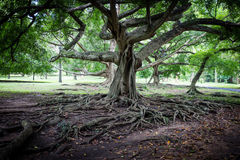 Big ficus tree in Sri Lanka. Benjamina Ficus tree with entwined long branches Royalty Free Stock Photography