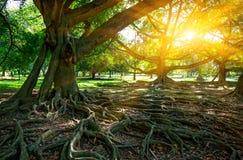 Big ficus tress. Big ficus trees in gaeden, Sri Lanka Stock Photo