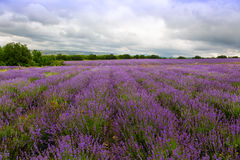 Big field of blooming lavender Royalty Free Stock Images