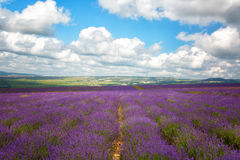 Big  field of blooming lavender Royalty Free Stock Photography