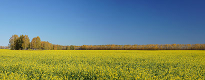 Big field of blossoming bittercress. Summer landscape royalty free stock photo