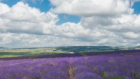 Big field of the blossoming lavender. Clouds over a big field of the blossoming lavender, timelapse stock footage
