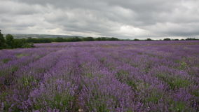 Big field of the blossoming lavender. In cloudy day stock video footage