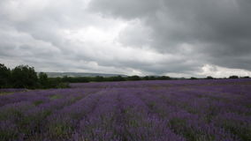 Big field of the blossoming lavender. In cloudy day stock video