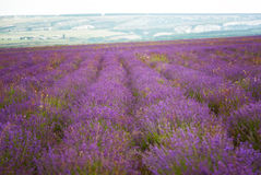 Big field of the blossoming lavender Stock Photography