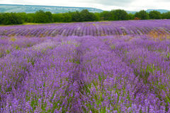 Big field of the blossoming lavender. And the mountain on a background royalty free stock photography