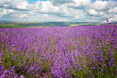 Big field of the blossoming lavender Royalty Free Stock Images