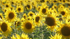 Big field of the blossoming sunflowers stock footage