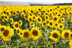 Big field with the blossoming sunflowers Royalty Free Stock Photos
