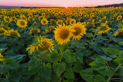 Big field of the blossoming sunflowers Stock Photography