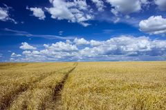 Big field and blue sky. Traces of wheels on a grain field Royalty Free Stock Photography