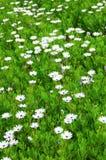 Big field camomile. Big grassy field with pretty camomile Stock Photos
