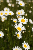 Big field of daisy flowers Royalty Free Stock Images