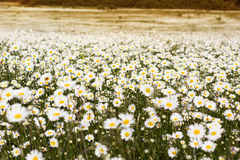 Big field of daisy flowers Stock Photo