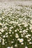 Big field of daisy flowers Royalty Free Stock Photos