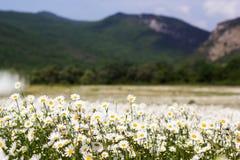 Big field of daisy flowers Stock Photos