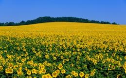 Big field flowering sunflower Royalty Free Stock Image