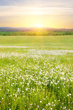 Big field of flowers on sunrise. Stock Images