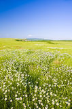 Big field of flowers on sunrise. Royalty Free Stock Image