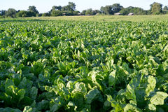 Big field of fodder beet in the Ukrainian village Stock Photo