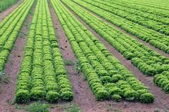 Big field of green lettuce in the plains in summer Stock Photo