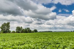 Big field with green soy plants and blue sky. Summer rural landscape royalty free stock image