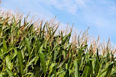 The big field of the growing corn plants Stock Photography