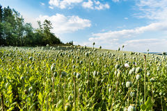 Big field with growing green poppies. The part of big field with growing green poppies. Some poppies in foreground are focused. In the smooth blurry background Royalty Free Stock Photography