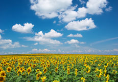 Big Field Of Sunflowers Royalty Free Stock Images