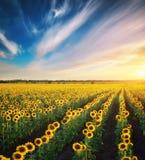 Big Field Of Sunflowers. Stock Photos