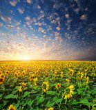 Big Field Of Sunflowers Stock Images