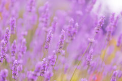 Big Field Of The Blossoming Lavender Stock Photos