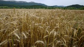 Big field of ripe wheat. stock video footage
