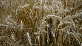 Big field of ripe wheat. Stock Photos