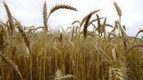 Big field of ripe wheat. Stock Image